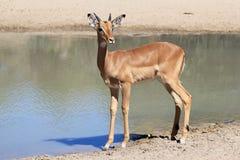 Impala, błonie i odważny, portret potomstwa - przyroda od Afryka - Zdjęcia Stock
