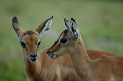 Impala babies. Two young little Rooibok or Impala gazelle head portraits facing each other watching wildlife and other antelopes in a game park in South Africa Stock Images