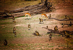 Impala and baboon Stock Photos