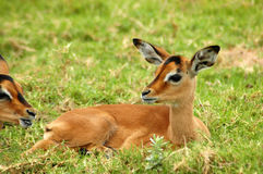 Impala baby. A young Impala baby resting and watching other Impala antelopes in a game reserve in South Africa stock photography