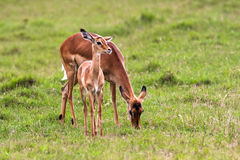 Impala with baby. Nakuru, Kenya Royalty Free Stock Photos