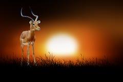 Impala on the background of sunset Stock Image