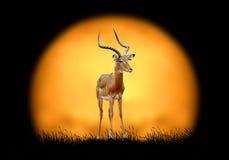 Impala on the background of sunset Stock Photos
