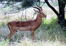 Impala baran zdjęcie royalty free