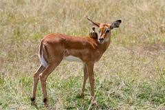 Impala baranek z wystawiającym rachunek oxpecker zdjęcie stock