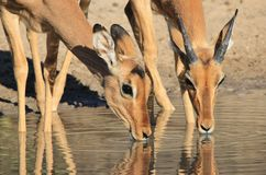 Impala Barwi tła piękno i Dziki cud - przyroda od Namibia, Afryka - Zdjęcie Stock