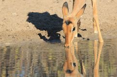Impala Barwi tła piękno i kolor Dziki, Niezwykły, - przyroda od Namibia, Afryka - Obraz Stock