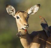 Impala being groomed by ox peckers (aepyceros melampus) Botswana. One young female Impala (Aepyceros melampus) being groomed by red billed oxpeckers, Botswana Royalty Free Stock Image