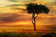 Impala bij Afrikaanse Zonsondergang royalty-vrije stock afbeeldingen