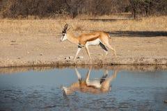 Impala bij waterhole Royalty-vrije Stock Foto's