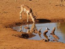 Impala bij waterhole Stock Afbeeldingen