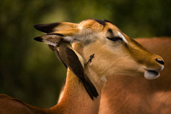 Impala with birds. An African Impala with two birds cleaning its ears Stock Photos