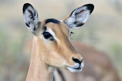 Impala, Black-faced Impala, Aepyceros melampus petersi stock photography