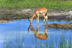 Impala. At the boteti river Royalty Free Stock Images