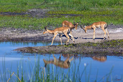 Impala. In the Boteti river Stock Photo