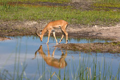 Impala. In the Boteti river Stock Image
