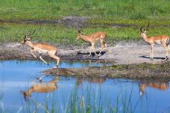 Impala. In the Boteti river Stock Photography