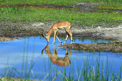 Impala. In the Boteti river Royalty Free Stock Image