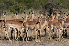 Impala - Botswana Stock Photos