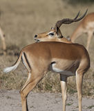 Impala - Botswana Royalty Free Stock Photo