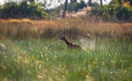 Impala Botswana fuggire Fotografia Stock