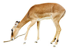 Impala with branch Stock Photos