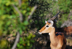 Impala Buck. Young Male Impala ram in Kruger National Park Stock Photos