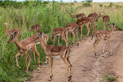 Impala Buck Calfs Wildlife Royalty Free Stock Image