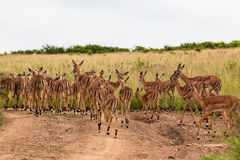 Impala Buck Calfs Animals Stock Image