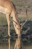 Impala buck drinking water from a river Stock Photo