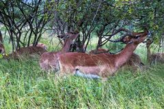 Impala Buck Feeding on Green Grass and Trees Royalty Free Stock Images