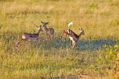 Impala Buck Jumping Royalty Free Stock Photos