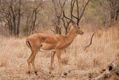 Impala buck Stock Image