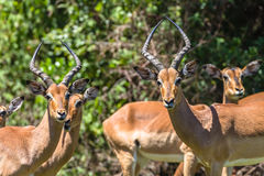 Impala Buck Males Females Wildlife. Impala Buck young males animals pause in contest fight in mating season Stock Image