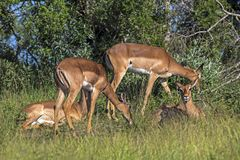 Impala Buck Resting in Green Grass in Front of Trees. Four Impala buck resting in green grass in front of trees at Imfolozi-Hluhluwe game reserve in Zululand stock photography