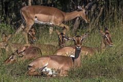 Impala Buck Resting in Green Grass in Front of Trees. Many Impala buck resting in green grass in front of trees at Imfolozi-Hluhluwe game reserve in Zululand stock images