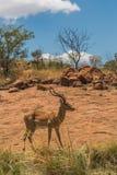 Impala buck Royalty Free Stock Photography