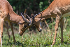 Impala Bucks Contest Horns Wildlife. Impala Buck young males animals in contest fight locking horns into opponents neck in mating season Royalty Free Stock Photography