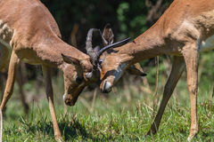 Impala Bucks Fight Horns Wildlife. Impala Buck young males animals in contest fight locking horns in mating season Stock Photos