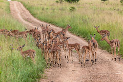 Impala Bucks Herd Wildlife Stock Photography