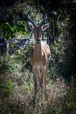 Impala in Bush Stock Foto's