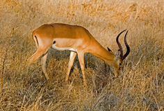 Impala in the bush in South Africa. An image of an impala grazing in the bush in South Africa stock image