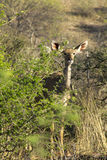 Impala in the bush in South Africa Stock Photo
