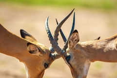 Impala butting heads. In Chobe National Park Royalty Free Stock Photography