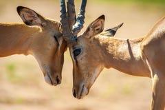 Impala butting heads. In Chobe National Park Stock Photo