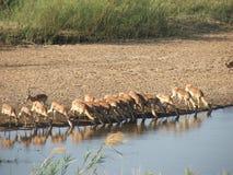 Impala buvant au fleuve dans le kruger Photographie stock