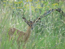Impala calf in the grass. Impala calf in the long grass - Kruger in summer Stock Images