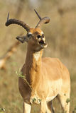 Impala call Royalty Free Stock Images