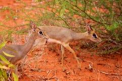 Impala Calve in Africa Safari. Tsavo National Park Royalty Free Stock Photo
