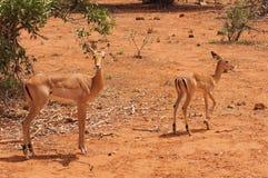 Impala Calve in Africa Safari. Tsavo National Park Stock Photography
